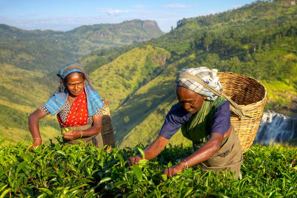Tea Plantation - Kandy